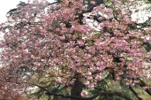 Cherry blossoms are starting to drop